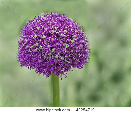 Allium, a purple wild onion flower head