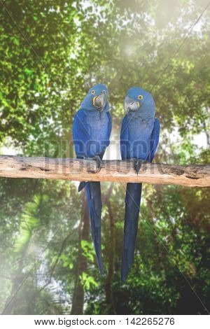 Blue Macaw in the nature