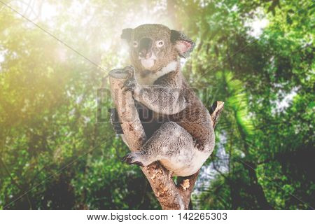 Koala in the nature