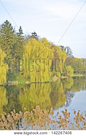 Willow trees by the river. Weeping willow in park.