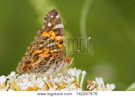 American Painted Lady butterfly feeding on a white flower cluster of Buddleia