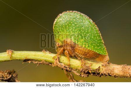 Tiny green Treehopper