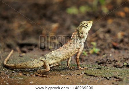 Image of chameleon on nature background. Lizards on the ground