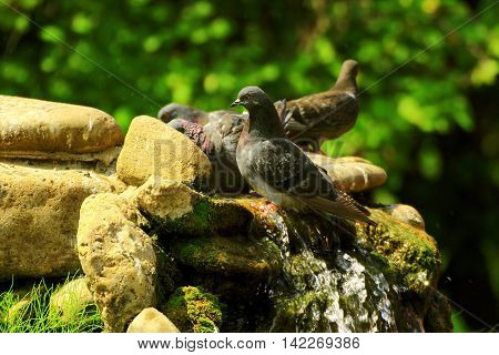 a group of rock pigeons got into the water of a small waterfall in the Park escape the summer heat and heat swimming in the water