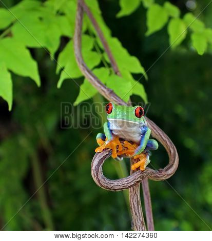 Red eye tree frog sitting on heart shaped vine facing the viewer with natural green background.