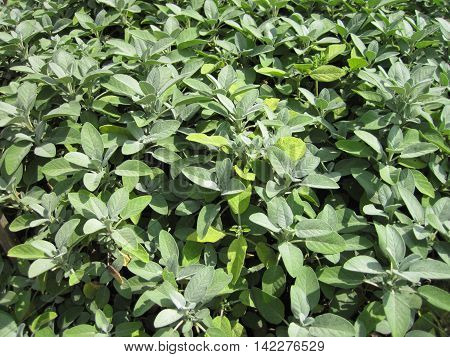Salvia Sage Plant
