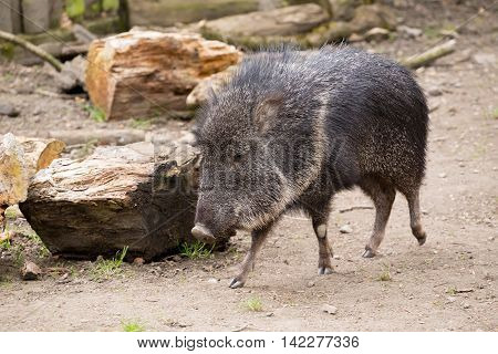 The Male Chacoan Peccary, Catagonus Wagneri