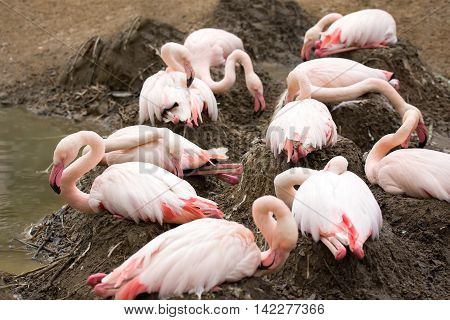 Nesting Rose Flamingo With Eng In Nest