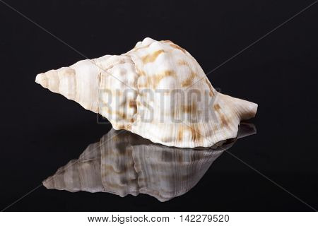 Single sea shell of marine snail horse conch isolated on black background .