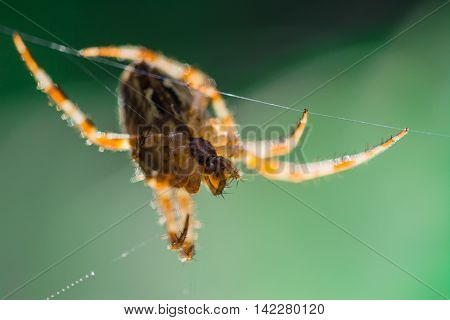 Spiders (lat. Araneae, Aranei, ancient Greek. ἀράχνη) -- group of arthropods, the second number of known members of the class Arachnida: about 42 thousand modern and about 1.1 thousand fossil species. Detachment is widespread.