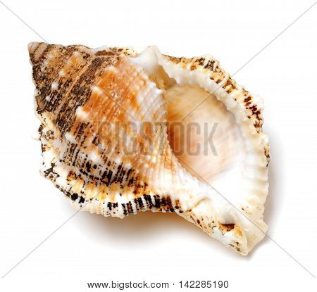 Shell of Tutufa bubo (frog snail) isolated on white background