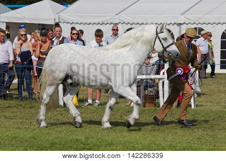 WEEDON, UK - AUGUST 29: One of the champion horses is run around the arena for the judges to decide which horse should be named Grand Champion at the Bucks County show on August 29, 2013 in Weedon.