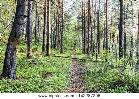 On a steep hillside is growing dense pine forest. Through this forest passes a narrow, grassy trail, where you rarely use.