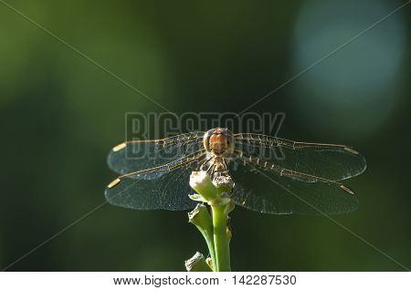 Dragonfly resting on a plant. Dragonfly closeup. Summer.