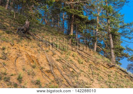 On a steep sandy hillside is growing dense pine forest. The trees look very picturesque on the edge of the cliff, especially in the chaotic weave their naked roots.