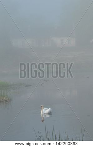 Mute Swan. Large white water bird. Floating on the lake