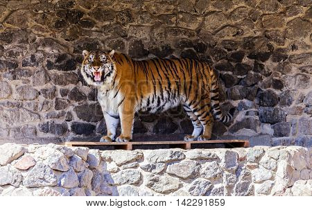 Zoo. An adult tiger resting. Zoo. An adult tiger resting