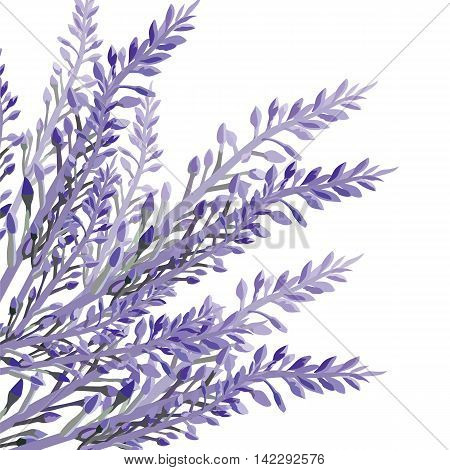 Lavender flower in watercolor paint style Vector . Gentle blossom floral bouquet isolated on white. Vintage Label with lavender beautiful fragrance