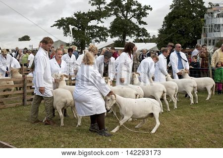 WEEDON, UK - AUGUST 28: Farmers prepare to show sheep to the judges during one of the livestock competitions at the BCC on August 28, 2014 in Weedon.