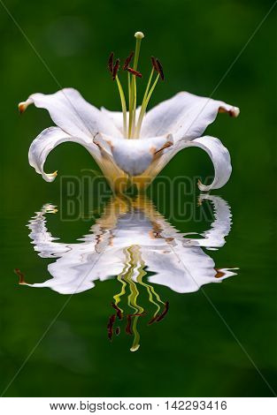white lilly reflection in pond. white lilly reflection in pond.