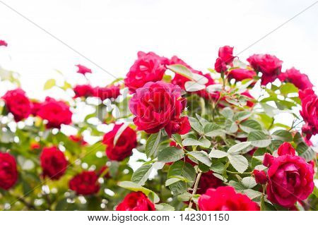 Red roses bush in the garden on the sky background