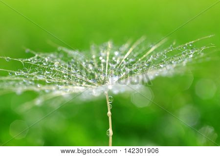 Dew drops on a dandelion seed close up.