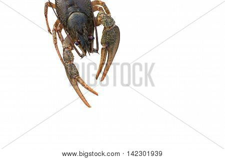 crayfish with claws isolated on white background