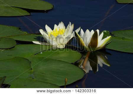 white water lilies floating in a mirrored blue water of a pond among the round leaves reflected in the water like a mirror