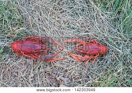 two boiled crawfish on the background of dry grass