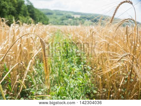 Field with ripe ears of wheat. Stripes mown wheat