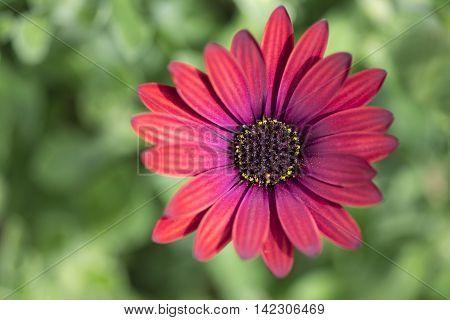 Osteaspermum 'elite Ruby' Flowers