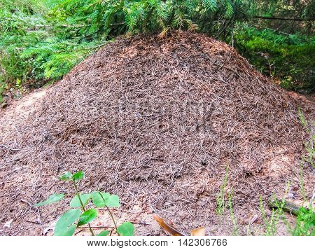 Big anthill with colony of ants in summer forest