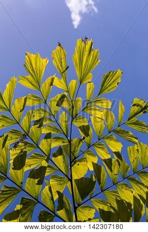 Caryota Mitis Fishtail Palm Leaves In Full Sun