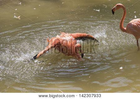 Ruber Flamingo In The Farm