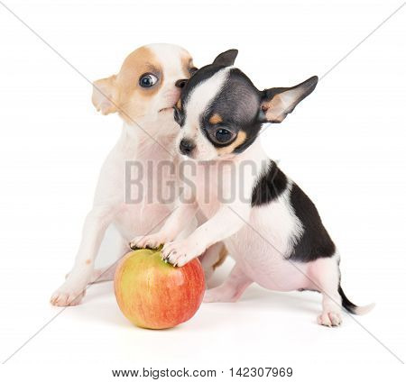 Two small puppies of Chihuahua and one apple isolated on white