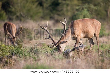 Red Deer Grazing On Meadow