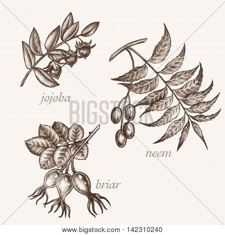 Set of vector images of medicinal plants. Biological additives are. Healthy lifestyle. Jojoba neem briar.