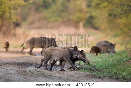 Group Of Wild Boars In Forest