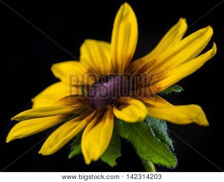 cone flower on the black background - macro