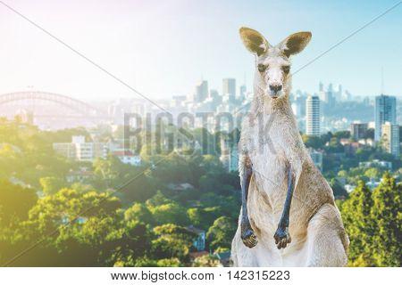 Kangaroo in Sydney, Australia