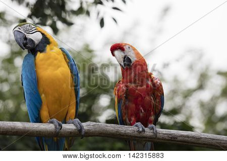 Ara Ararauna And Macaw Parrot On Its Perch
