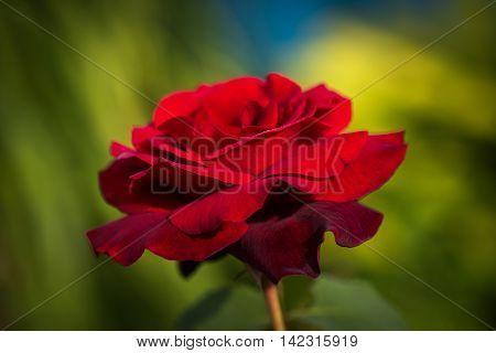 A close up natural macro shot of a red rose