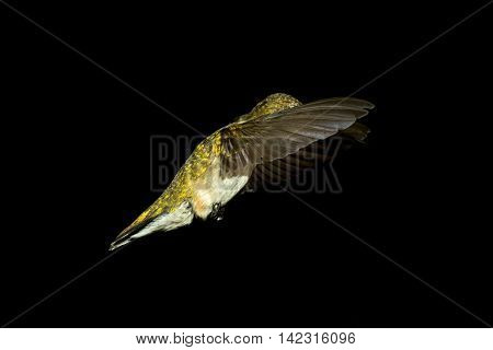 Ruby-throated Hummingbird in flight. Taken in Kentucky.