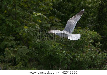 Flying White Seagull On A Green Background