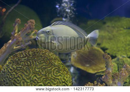 close up grey tang fish in Aquarium