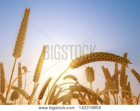 Wheat heads in fall bright sunset light agriculture background. 3D rendering.