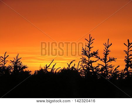 Flamboyant evening sky. Spruces silhouettes against the flaming orange evening sky.