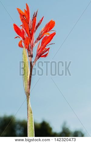 Canna flower.  This photo was taken in a garden not far from Kiev.