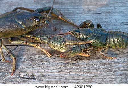 Two crayfish on a wooden surface in the sun