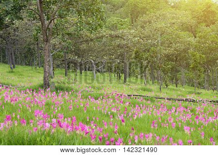 Siam Tulip (Krachiao) blossoms at Sai Thong National Park, Thailand